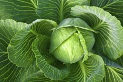 Польза капусты при инфильтрате