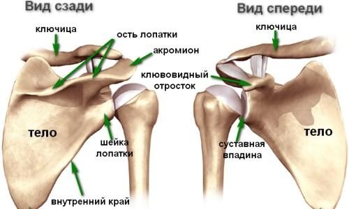 Расположение ключицы в строении тела человека