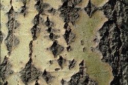 Польза коры дуба при паховой грыже