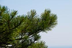 Сосновые ветки для лечения гигромы